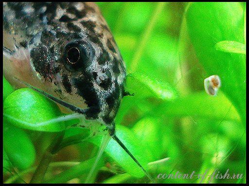 Corydoras - akvarij soma