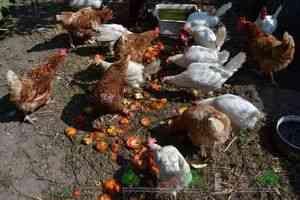 Dar cel mai bun pentru găinile ouătoare este considerată a fi singura. Prepararea amestecului în conformitate cu această rețetă de pui obține cantitatea optimă de nutrienți.
