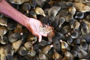 Krmivo pre kačice: ako by to malo byť a ako ju variť?