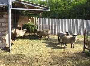 hrănirea oilor