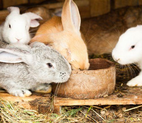 Troacă pentru iepuri