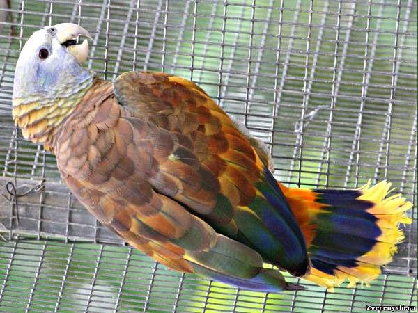 Royal sau sentvinsentsky amazonamazona guildingii