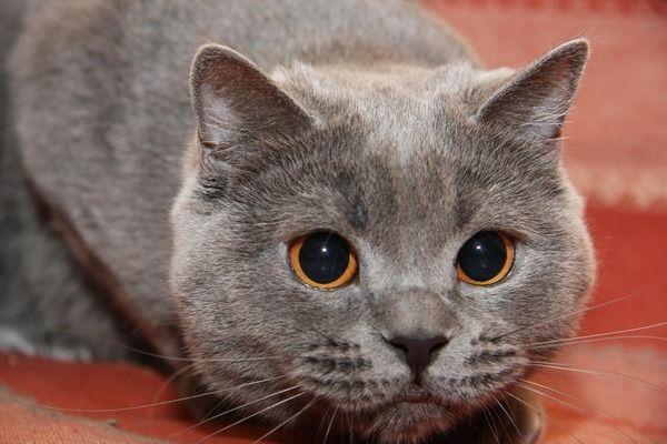 Viziunea de pisici britanice