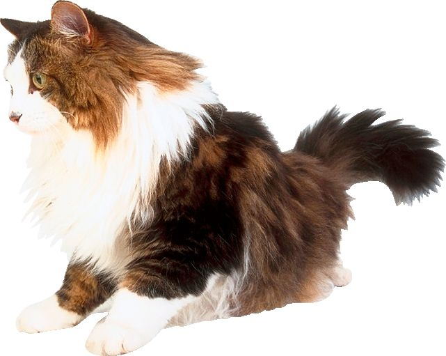 Котка коса