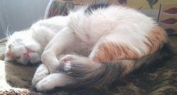 spiace mačku