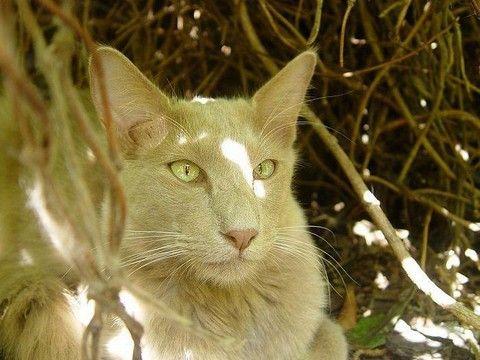 pisica Javaneză