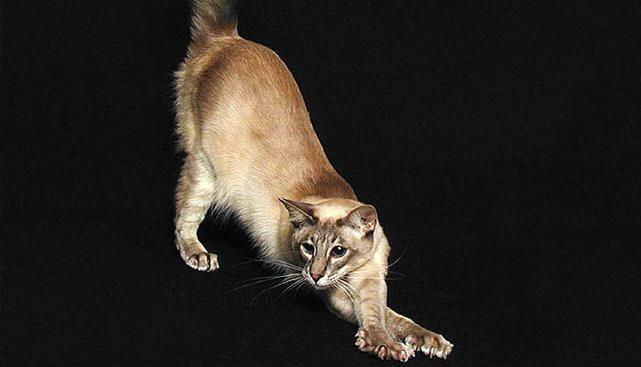 Cat Javanez - animale de companie excelente