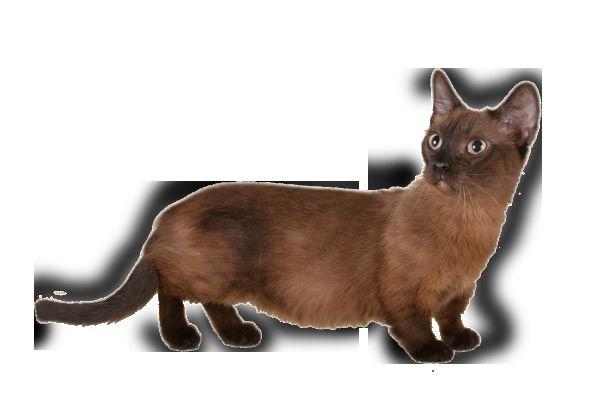Котка дакел