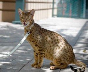 Свят котка. Asher