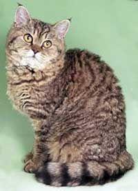 Селкърк Рекс котки. Стандартни цветове Таби.