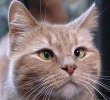 Strabizmus je mačka