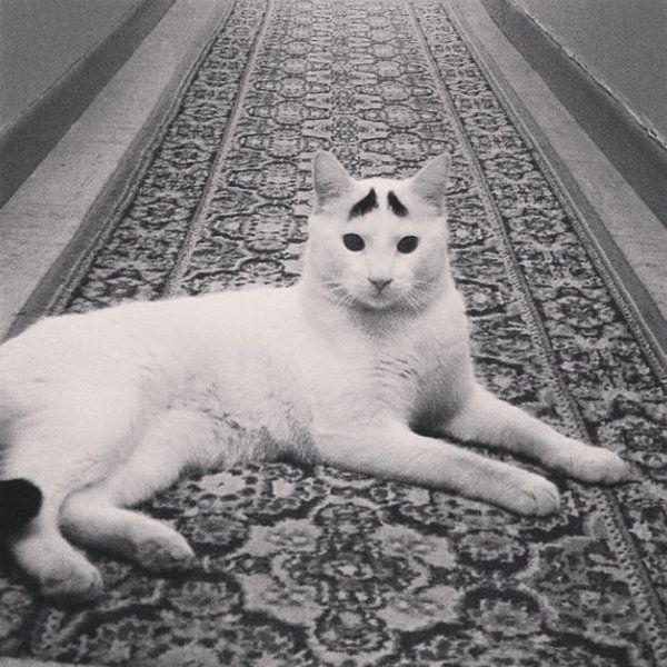 Mačka s obrvama