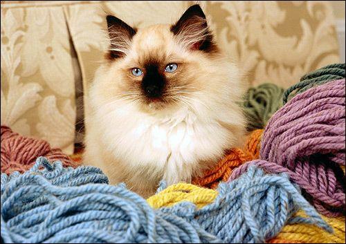 Himalájsky mačka, mačacie plemeno. Fotografie, Photo Image