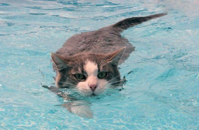 Котки плувци.