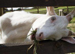 Кози в частни стопанства: размножаване и фондации