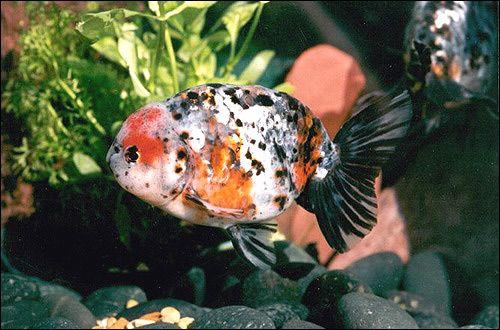 Goldfish EDON Shiki Photo Photo Image