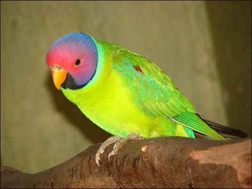 Red Heads papagáj slivogolovy andulka (Psittacula cyanocephala) Reklamné fotografie Bird image
