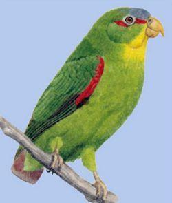 Lycidae sau papagal rumped sineloby (încoronat) (touit dilectissima)