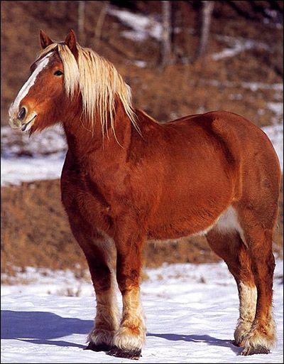 Vladimir ťažký ťažný kôň Vladimir Heavy Predloha. Foto, fotografie chovu koní image