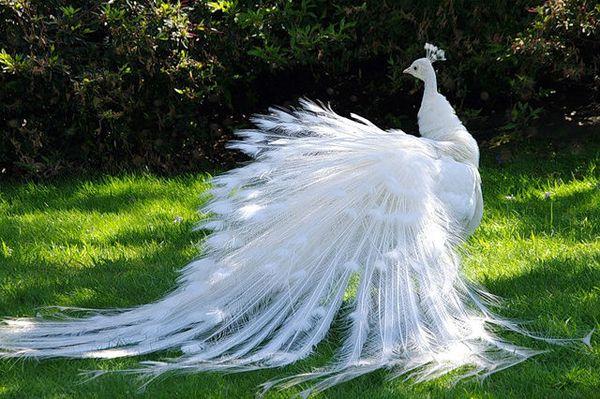 Ljepota i gracioznost albino paun