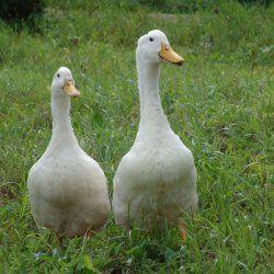 Две важни Blagovarsky патица порода