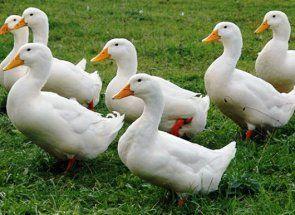 Čvrst i jak patka rase Blagovarsky