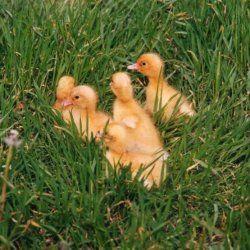 Blagovarsky патета в тревата