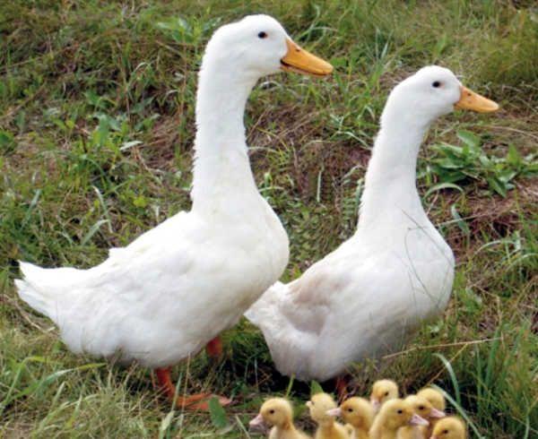 Две Blagovarsky патица в профил