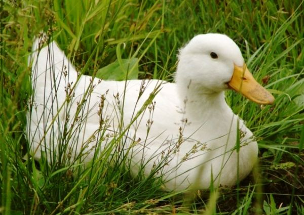 Blagovarsky патица в тревата