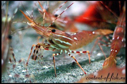 Škampi akvarij