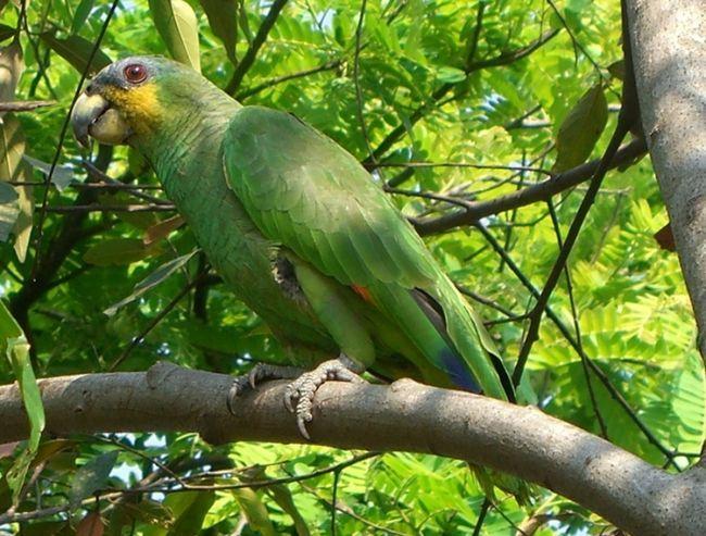 Amazon venezueleană în natură
