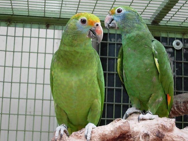 O pereche de papagali într-o cușcă Amazon