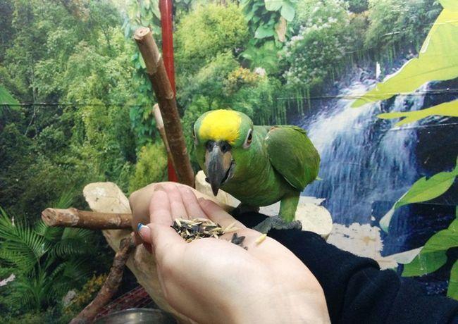 Amazon mănâncă semințe cu mâinile sale