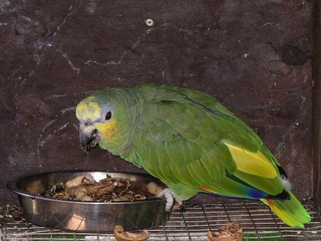 Venezueleni mănâncă papagal Amazon