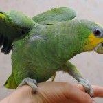 Amazon papagal cocoțat pe mana