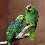Un cuplu pe o ramură a Amazon