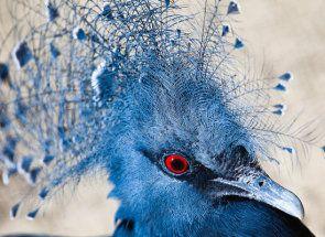 Cel mai mare reprezentant al familiei de porumbei - pene Incoronat