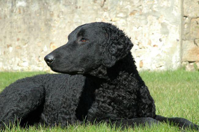 Black Curly leži u travi