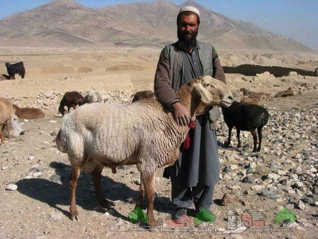 oi Fat-coadă în Afganistan
