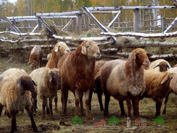 Din turma de oi în stilou