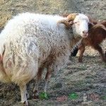 Kurdjuchnogo rasa caucaziană de oi