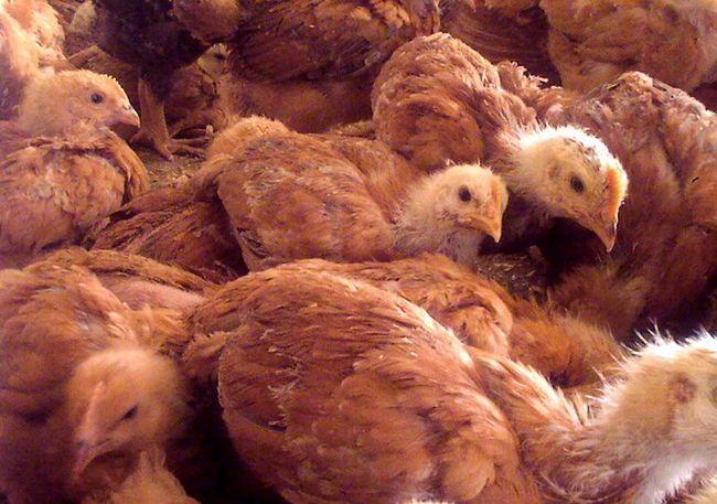 Пилета Redbro порода