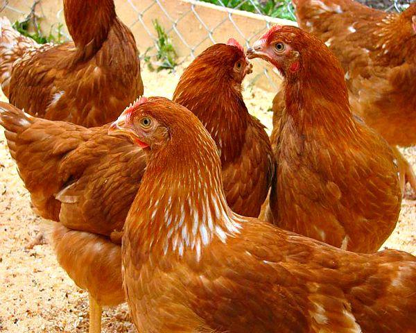 găini ouătoare-pui