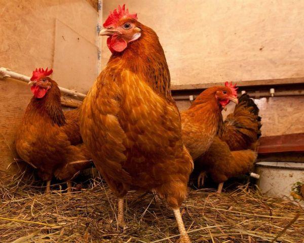 Kuban găinilor ouătoare în cușcă