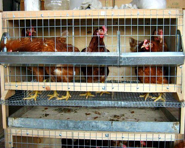 Colivii pentru găinile ouătoare