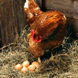 Hen incubates ouăle