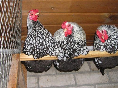 Wyandotte кокошка по своя костур