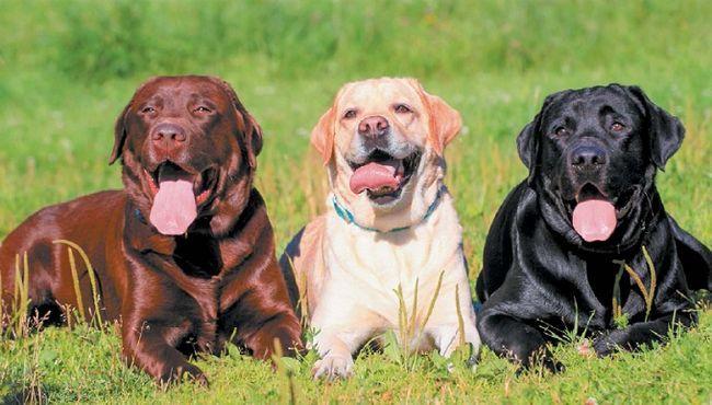 Labrador Retriver različitim bojama