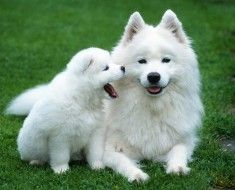 Foto 1. Bijela haski sa štene