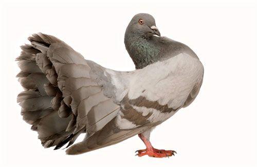 Tratamentul și prevenirea bolilor porumbeilor